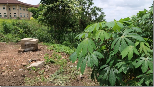cassava (old and new)