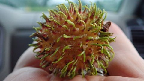 "Lychee or ""Monkey Apple"" as they are called in Liberia."